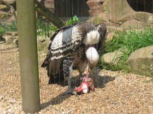 London Zoo Hawk